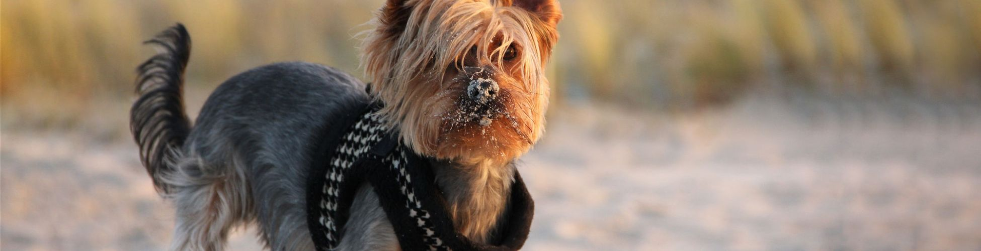 Yorkshire-Terrier am Strand